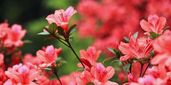 ¡Azalea, una planta fácil de cultivar y cuidar!