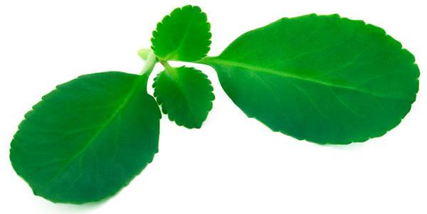 ¡Saião, una planta medicinal para la gastritis y mucho más!