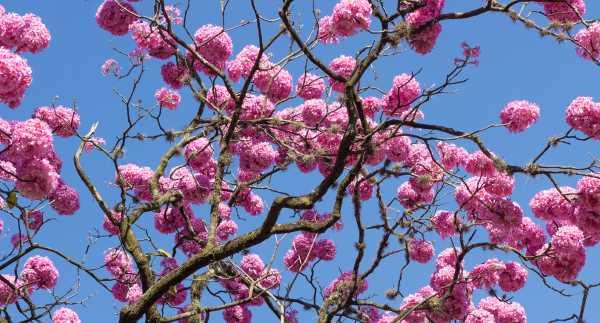 ¿Purple Ipe cura el cáncer? Propiedades medicinales y beneficios de esta planta.