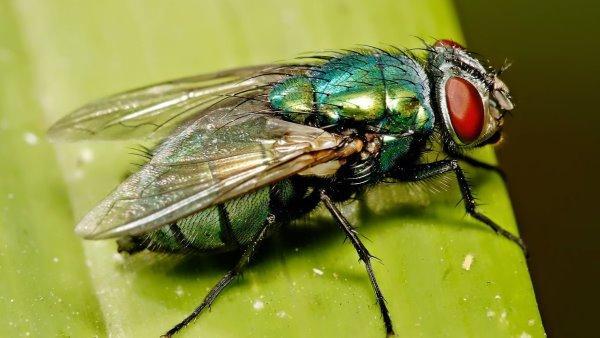 ¿Qué es el talón Pasiflora? La enfermedad causada por la larva de la mosca.