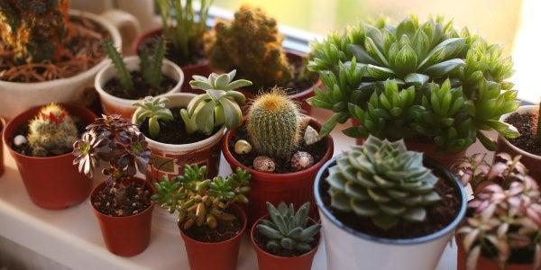 10 especies de cactus y suculentas fáciles de cultivar y mantener. FOTOS