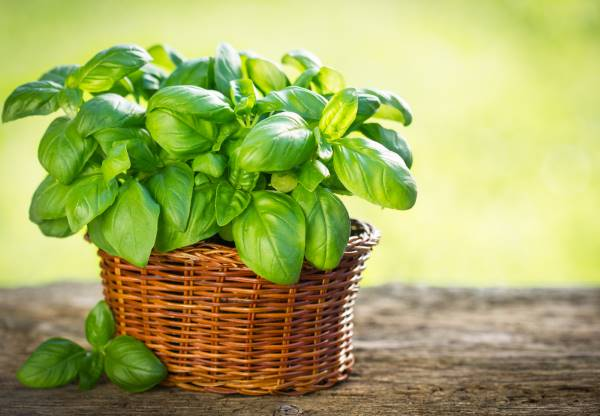albahaca vegetal