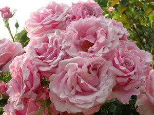 bulgaria rosa