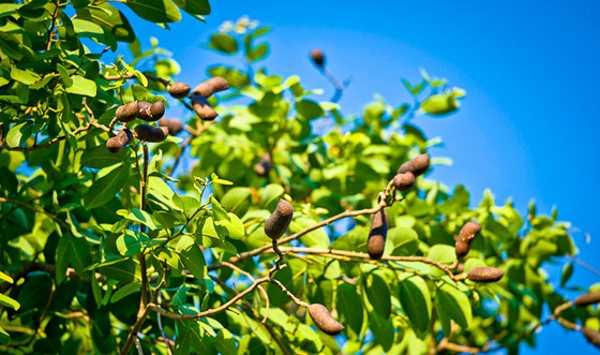 semillas de jatoba