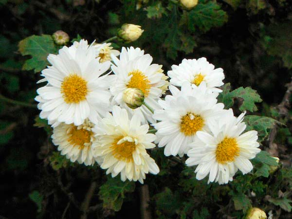 crisantemo-morifolio