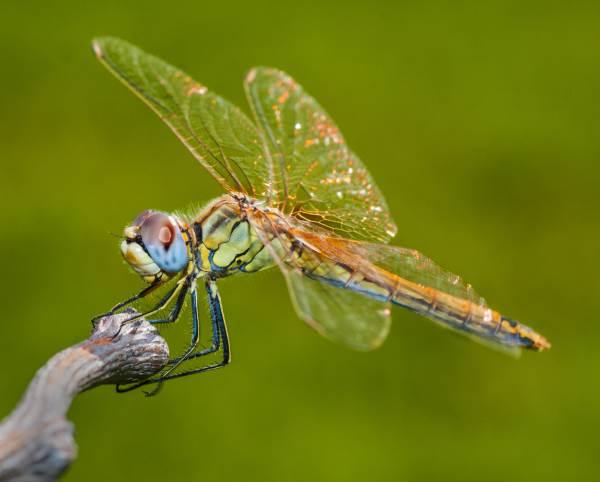 libélula leyenda 3