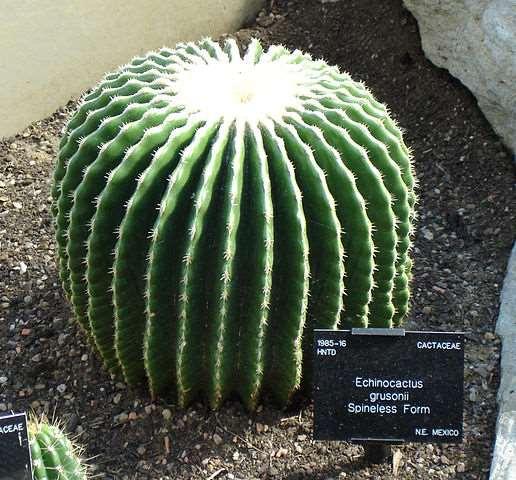 echinocactus grusonii sin espinas