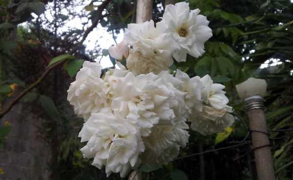 rosa blanca 2