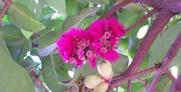 flor rosa jambo