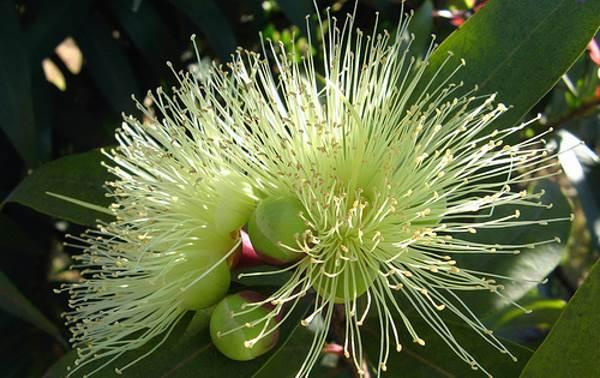 flor de jambo blanco