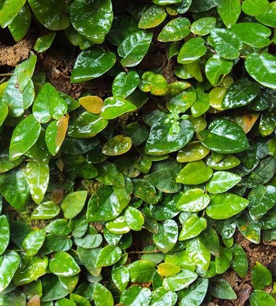 """Ficus pumila """"ancho ="""" 600 """"altura ="""" 664"""