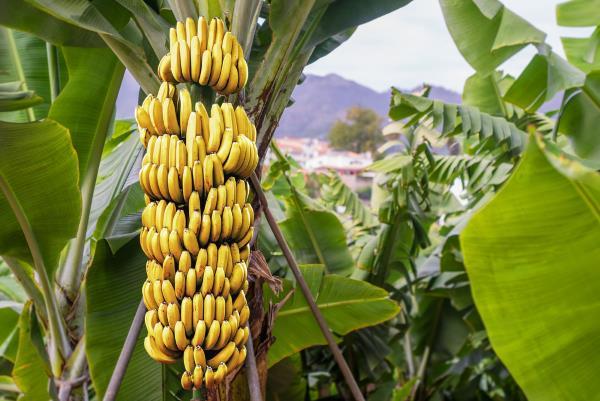 banano 2