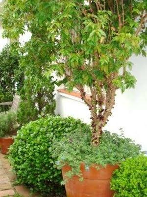 árbol de jabuticaba