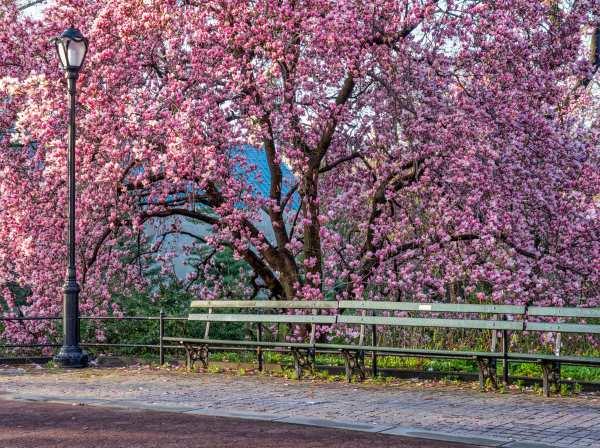 Magnolia spp
