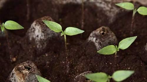 germinación de plantas de pimiento
