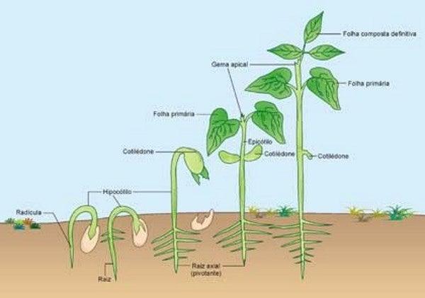 planta de frijol