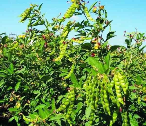 planta de frijoles 3