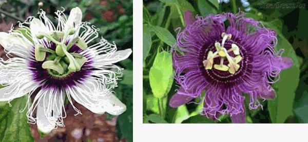 flores de pasiflora