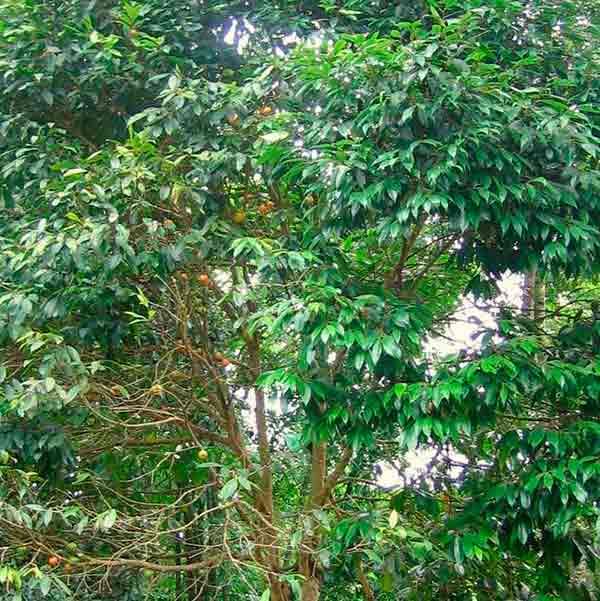 árbol cambuca