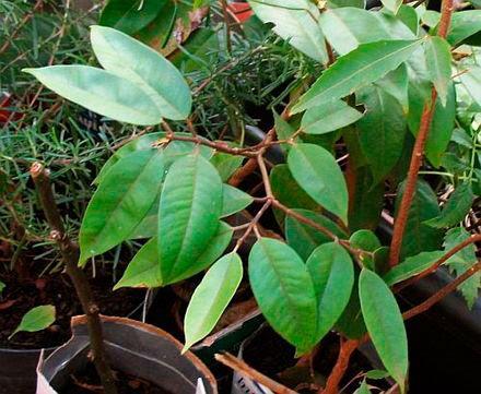 planta de cambuca
