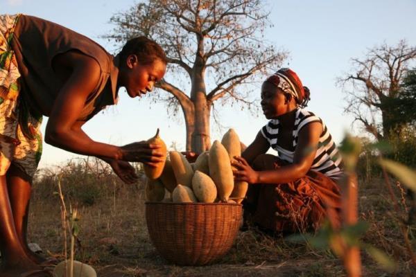 frutos de la cosecha de baoba