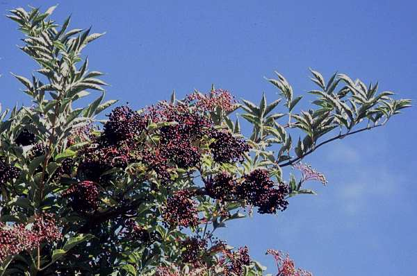 sambucus peruano 2