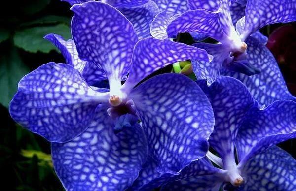 """orquídea """"ancho ="""" 600 """"altura ="""" 388 """"srcset ="""" https://www.greenme.com/wp-content/uploads/2018/07/orquidea-vanda.jpg 600w, https: // www. greenme.com/wp-content/uploads/2018/07/orquidea-vanda-300x194.jpg 300w """"datos-tamaños ="""" (ancho máximo: 600px) 100vw, 600px """"></p> <p>Las orquídeas son flores únicas y famosas por su exótica belleza y delicadeza. En general, representan amor, sensualidad y nobleza. Esta flor tiene muchos colores y formas, por lo que sus significados pueden variar.</p> <p>Aquí están los diversos colores de las orquídeas y sus significados:</p> <p><strong>ROSADO </strong>La flor de este color irradia seducción, sensualidad, romanticismo, cariño, feminidad y amor.</p> <p><strong>LILÁS</strong>: Este color en la flor de la orquídea representa dignidad, purificación, elevación y espiritualidad.</p> <p><strong>BLANCO</strong>: El color blanco representa sentimientos sinceros, paz, inocencia y pureza.</p> <p><strong>Amarillo</strong>: Las orquídeas con este color expresan alegría, felicidad, éxito y prosperidad.</p> <p><strong>AZUL</strong>: El color azul le da a las flores de orquídeas la vibración de tranquilidad, paz y armonía y transmite confianza, lealtad y gratitud.</p> <p><strong>NEGRO</strong>: Las orquídeas negras son arrogantes y simbolizan el poder y la autoridad, transmiten audacia y austeridad.</p> <p><strong>Rojo</strong>: La orquídea roja está asociada con la sexualidad, la fuerza y el impulso de acción, transmite energía, motivación y estado de ánimo.</p> <h2><span class="""