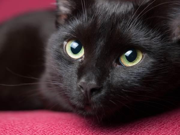 gato negro 3