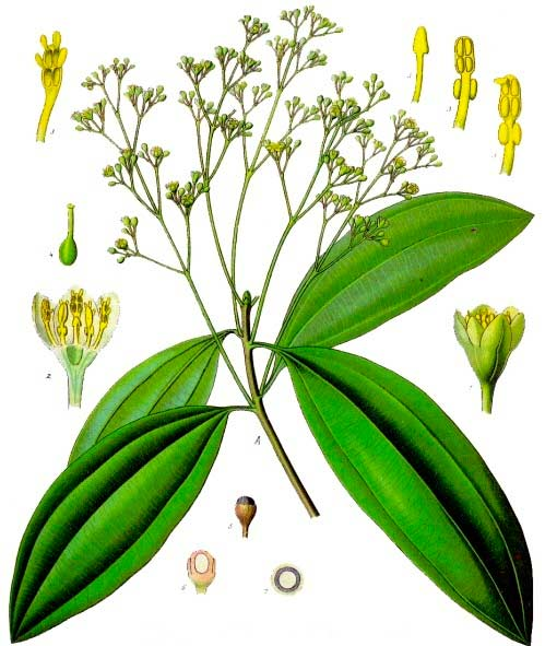 Cinnamomum aromaticum