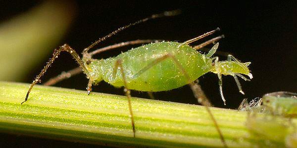 5 remedios naturales para proteger sus plantas de los pulgones