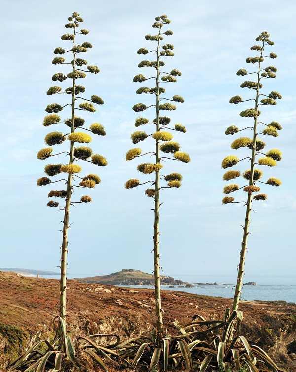 agave americano florida