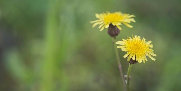 Algodoncillo: la planta medicinal comestible. Vea los beneficios y cómo plantar