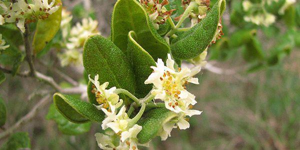Arándano: consejos de uso, dosis y beneficios de esta planta súper medicinal