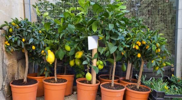 Árboles frutales en macetas: consejos prácticos y LISTA para crecer en cada región