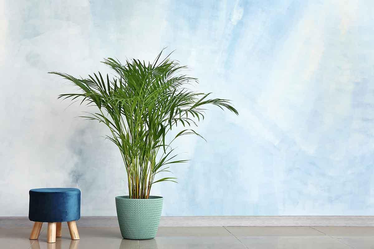 Areca palm: como cuidar