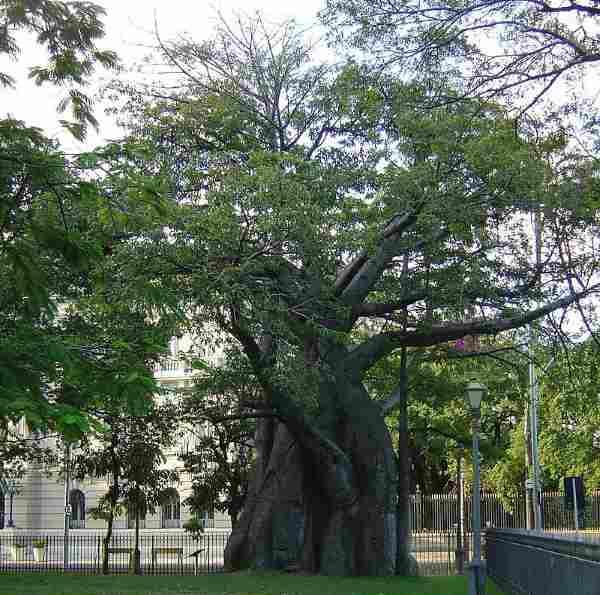baobab brasil
