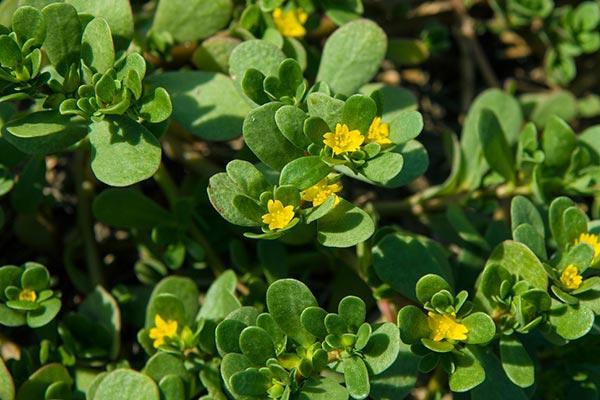 Beldroega, una pequeña planta que vale cualquier cosa