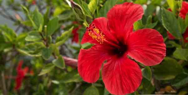 Cómo cuidar y cultivar hibiscos. Ver fotos y consejos preciosos!