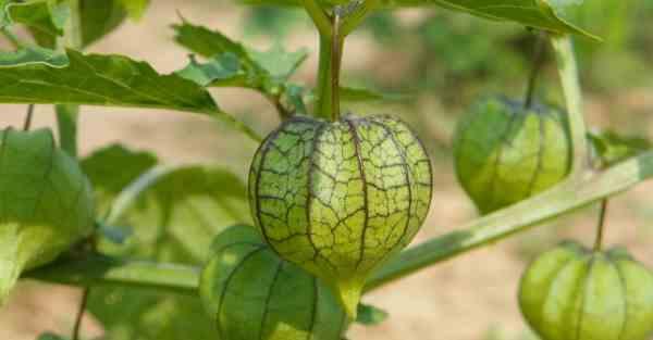 Camapu: la planta que ayuda en la recuperación del Alzheimer y el Parkinson.