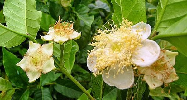 flor cambuci