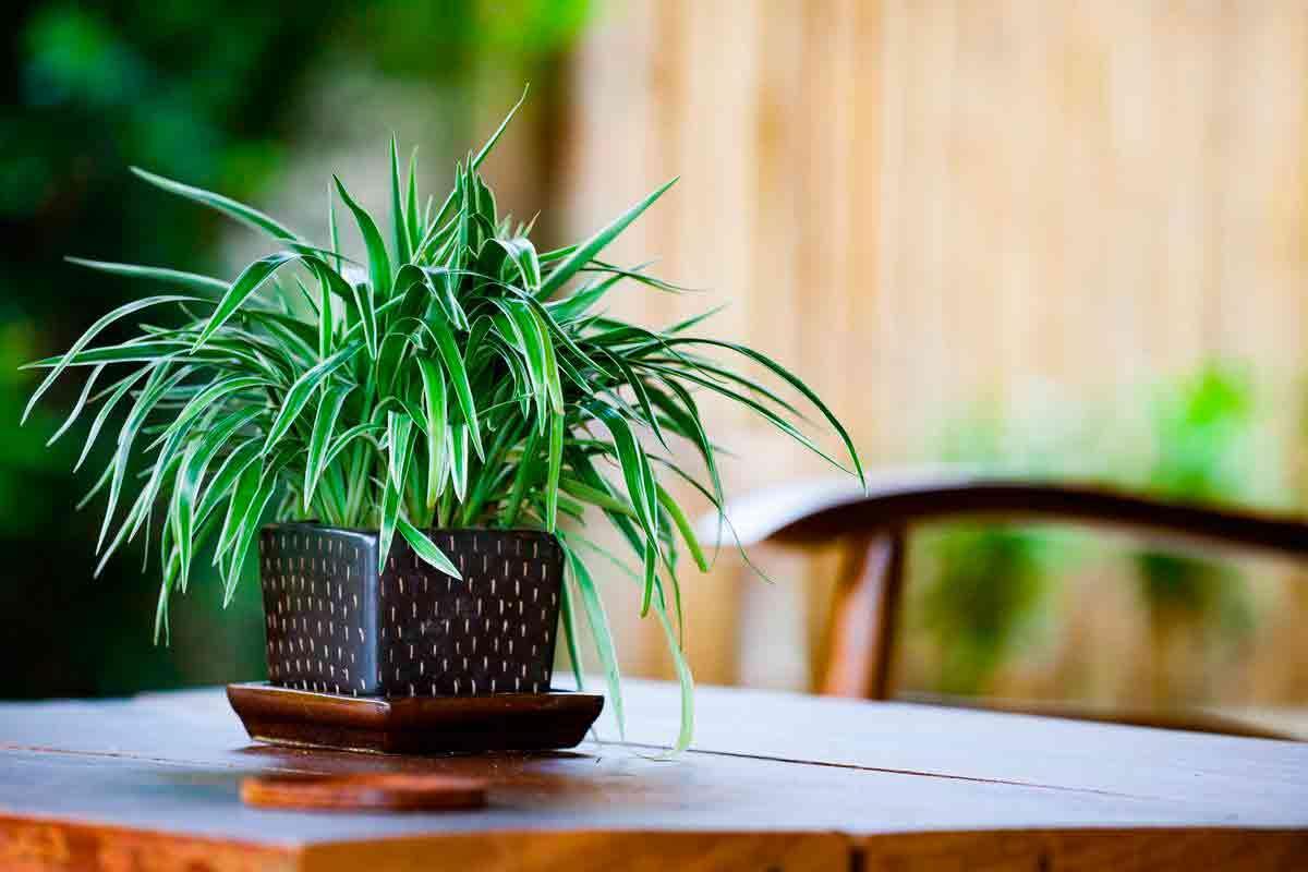 Clorofita, la planta que purifica el aire. Una es suficiente para purificar toda la casa.