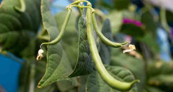 Cómo cultivar frijoles: ¿es posible cultivar frijoles en casa?