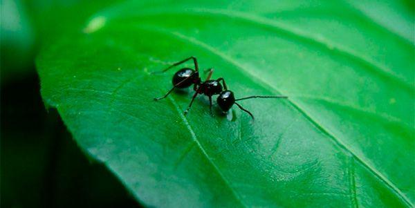 Cómo matar hormigas en casa y en el jardín