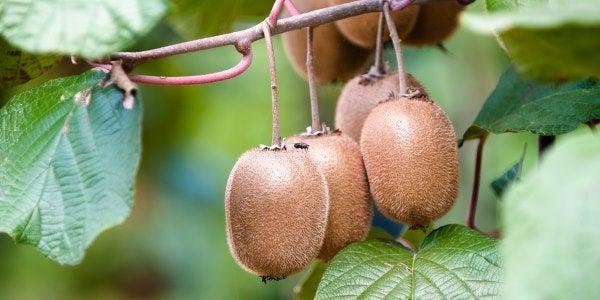 Cómo plantar kiwi y obtener rápidamente sus frutos