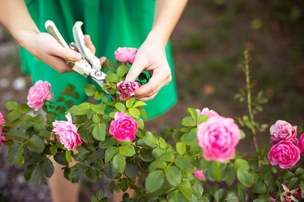 Cómo plantar rosas y cuidar un rosal, para tener siempre flores hermosas y fragantes
