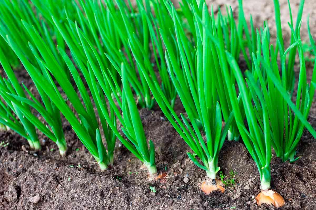 Cómo plantar y cosechar cebolla. Consejos prácticos y simples.
