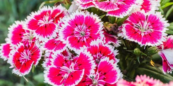 Cravina: colorida y fácil de mantener en maceta o jardín