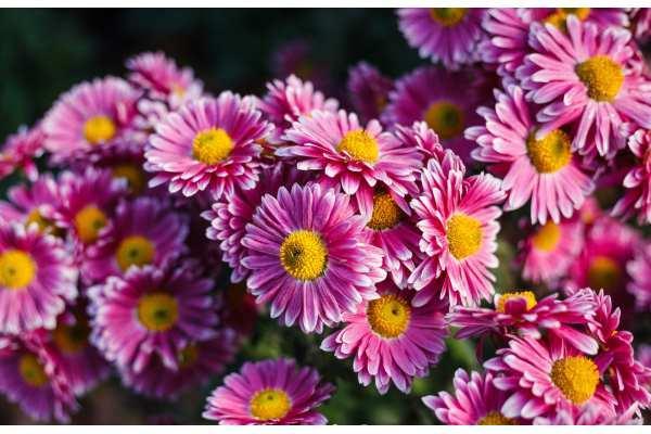 Crisantemo: beneficios, significados y cultivo