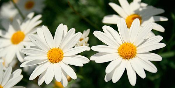 Daisy, la flor del amor! Descubre la leyenda y el verdadero significado.