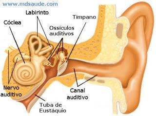 oído interno 2